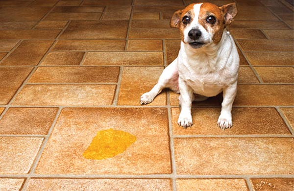 Dog Pees On Floor When Scared How To Handle Potty